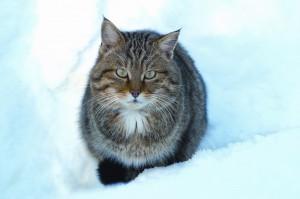 Wildkatze im Winter, Foto: Herbert Grabe